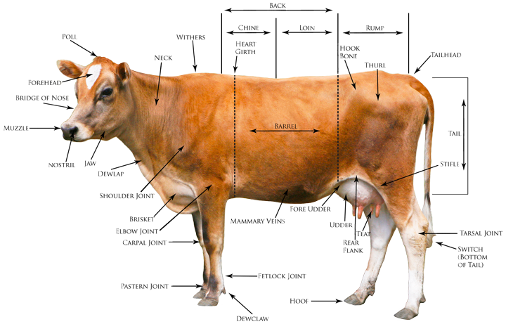 conformation_diagram body diagram of cattle on wiring diagram